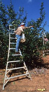 Farmworker harvesting fruit in an orchard, standing on a special ladder, putting harvested fruit into bag slung over shoulder