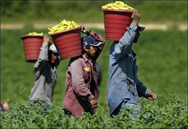 Farmworkers carry red buckets full of green chili peppers on their shoulders through the field