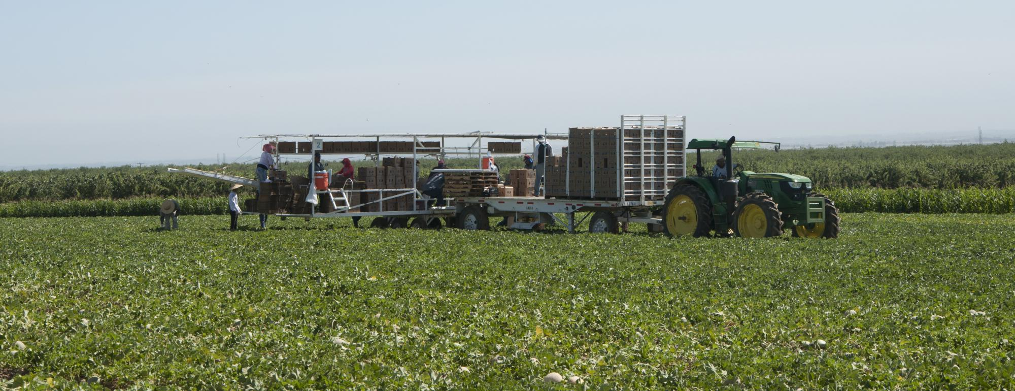 Farmworkers harvesting melons and packing them into boxes on a specialized truck in the fields