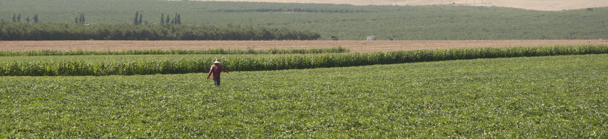 Farmworker walking through rows of green crops with brown hills and powerlines in background