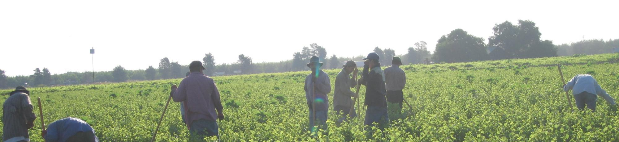 Farmworkers weeding crops in field